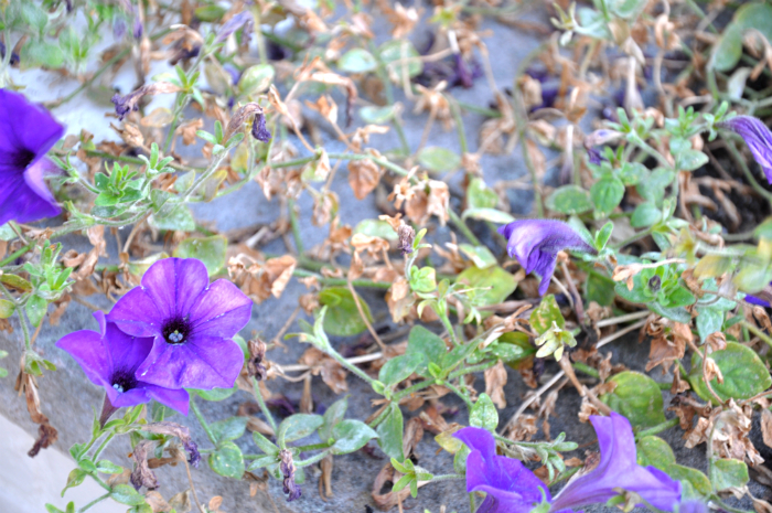 end of summer petunias