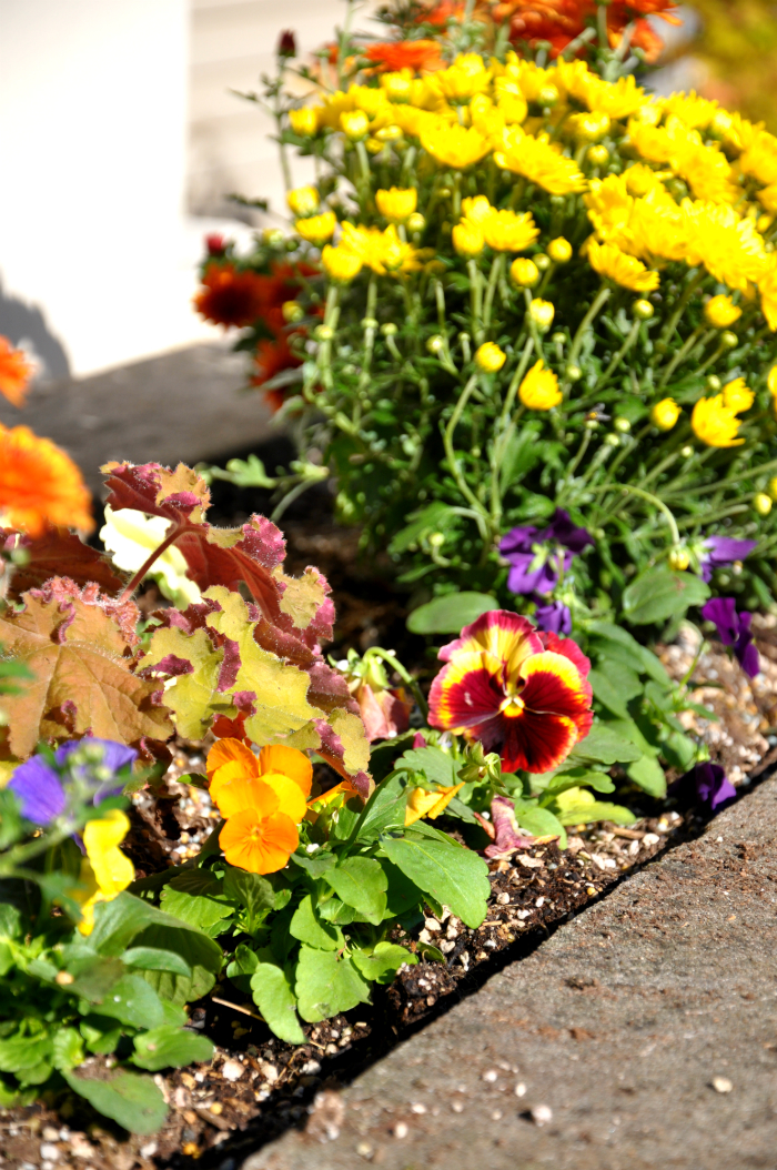 fall pansies